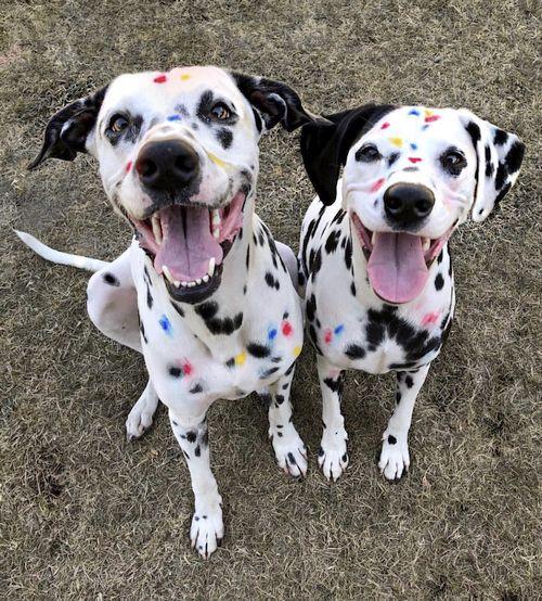 Anjing Dalmatian Anakan