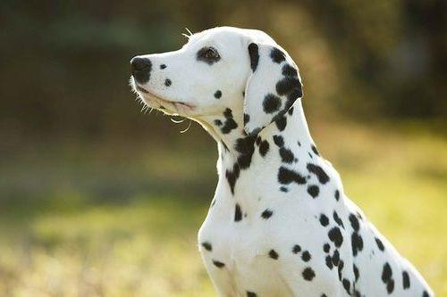 Anjing Dalmatian