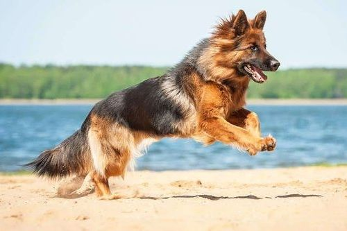 Anjing German Shepherd gagah