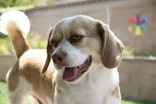 Anjing Peagle