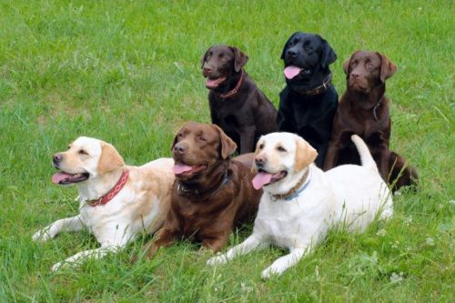 Foto Labrador Retriever
