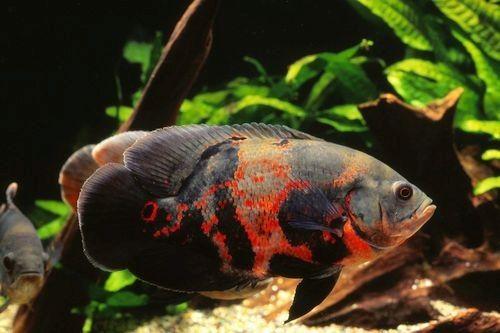 Foto ikan oscar
