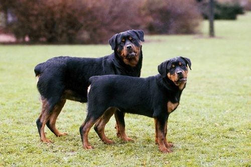 Gambar Anjing Rottweiler 2