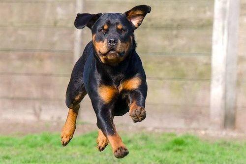 Gambar Anjing Rottweiler 3
