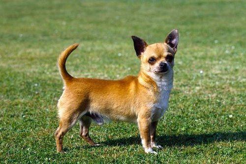 Gambar Chihuahua
