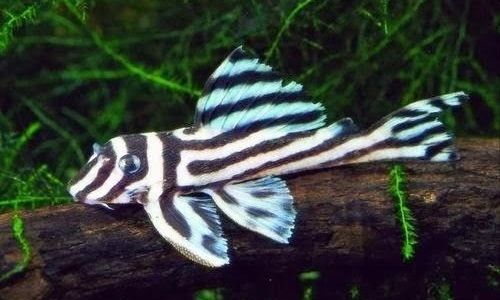 Gambar Zebra pleco