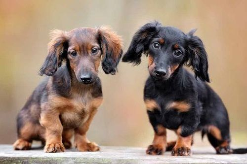 Gambar anjing Dachshund 4