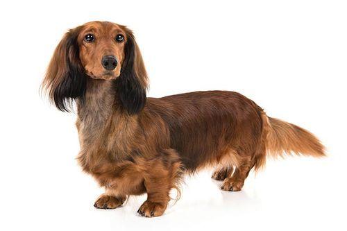 Gambar anjing Dachshund