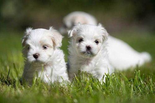 Gambar anjing Maltese