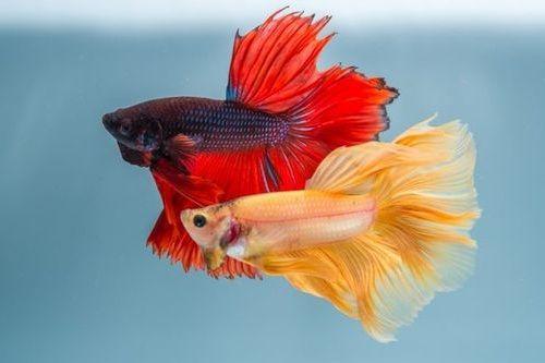 Gambar ikan cupang 1