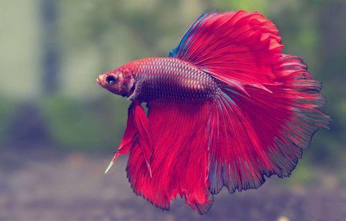 Ikan Betta
