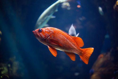 Ikan Bosan