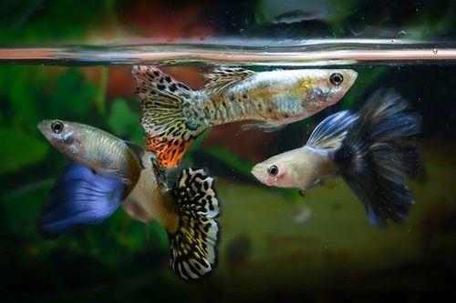 Ikan Guppy yang Sehat