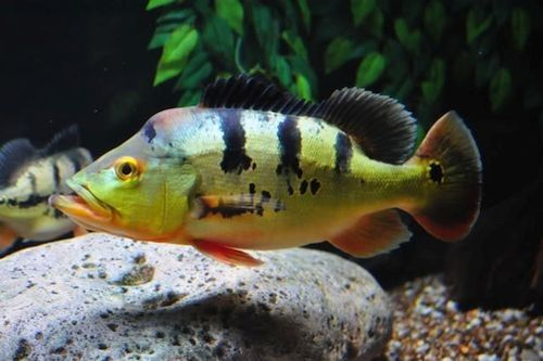 Ikan Pbass di Akuarium