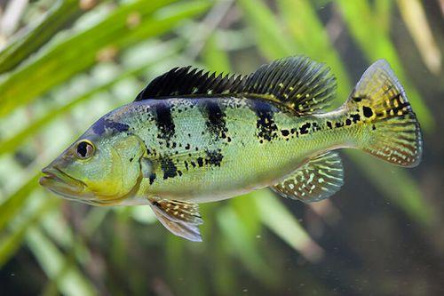 Ikan Pbass lucu