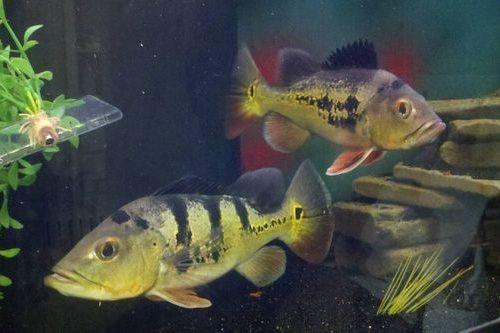 Ikan Pbass peliharaan