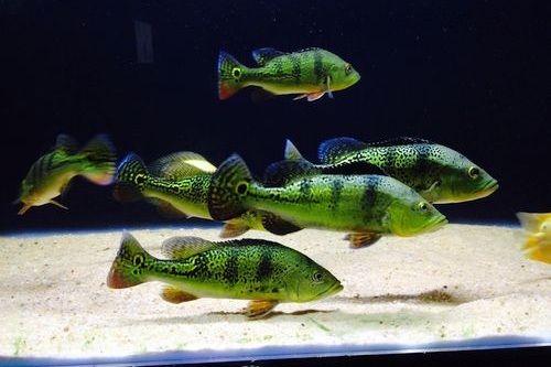 Ikan Pbass