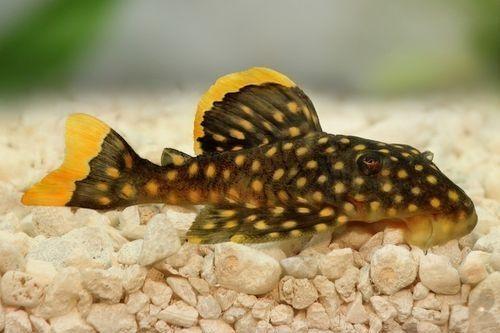Ikan Pleco Unik Kuning