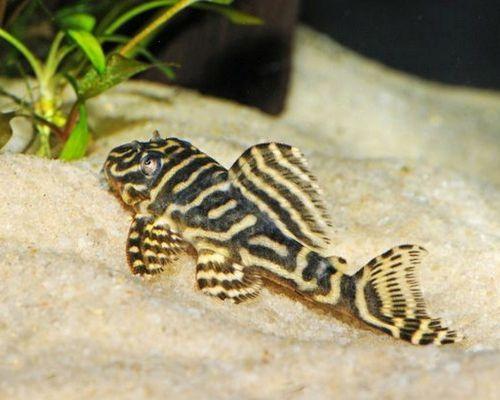 Ikan Sapu sapu