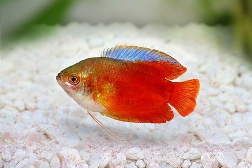 Ikan dwarf gourami