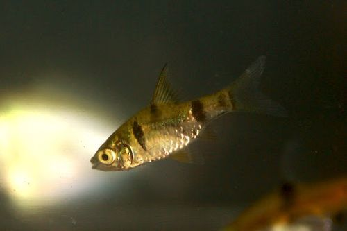 Ikan golden dwarf barb