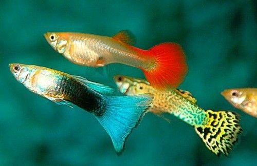 Cara Ikan Guppy Tidur Berapa Jam Mereka Tidur Gerava Ikan Hias Burung Kicau Kucing Anjing