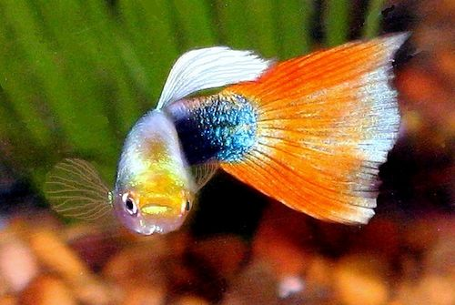 Ikan guppy sehat