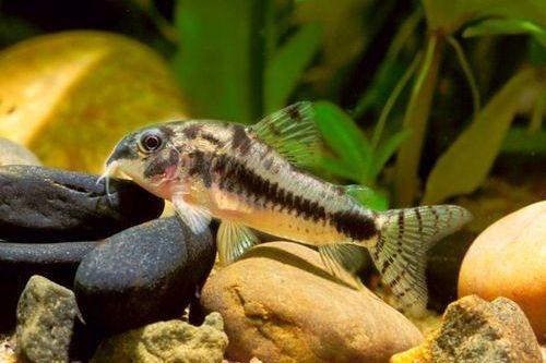 Ikan pygmy corydora