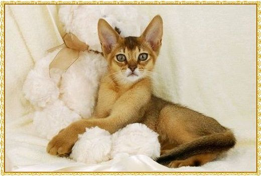 Kucing Abinisia