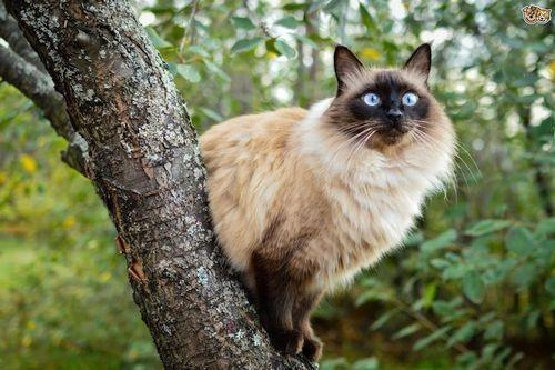 Kucing Bali di pohon
