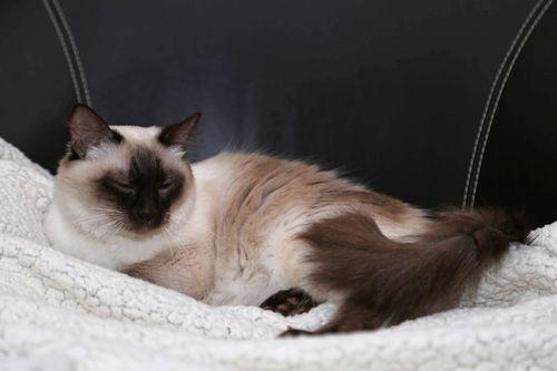Kucing Bali tidur