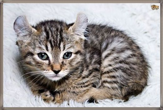 Kucing Highlander