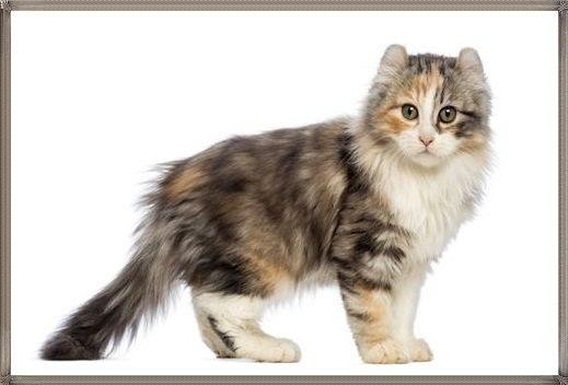 Kucing Kinkalow