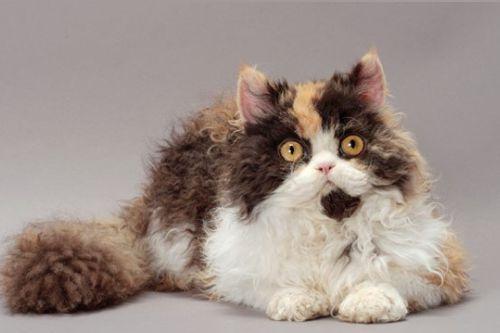 Kucing Langka