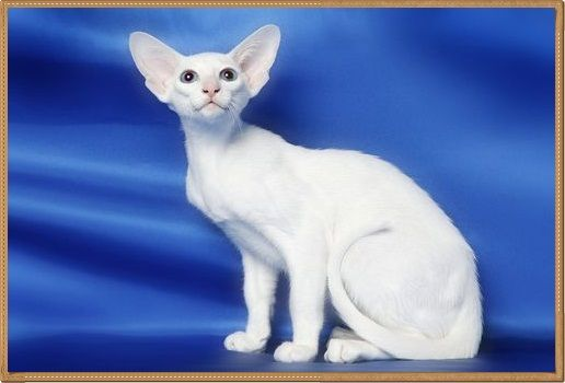Kucing Oriental putih