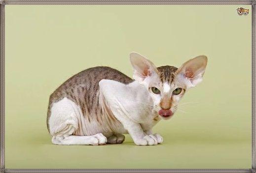 Kucing Peterbald