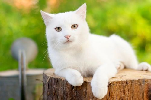 9 Ras Kucing Lucu Yang Memiliki Bulu Putih Indah Gerava Ikan Hias Burung Kicau Kucing Anjing