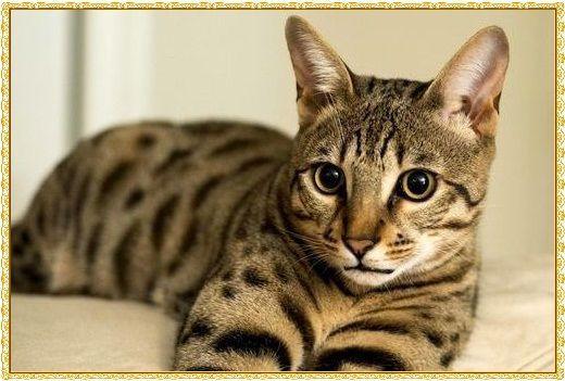 Kucing Savannah