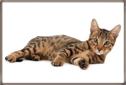 Kucing Serengeti