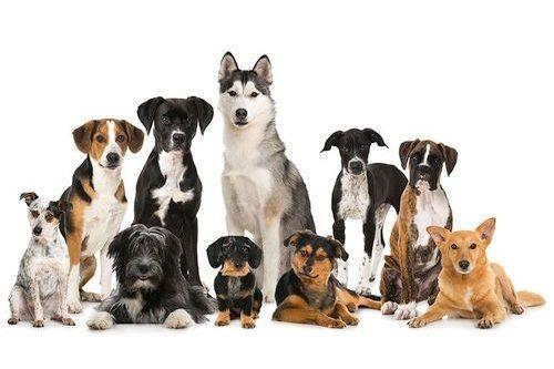 Ras Anjing