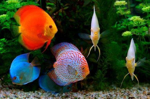 125 Jenis Ikan Discus Paling Lengkap Beserta Gambarnya Gerava Ikan Hias Burung Kicau Kucing Anjing