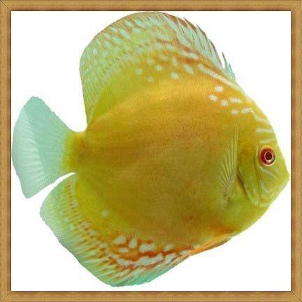 Spesies ikan discus