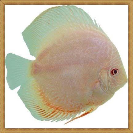 Ikan discus terlucu