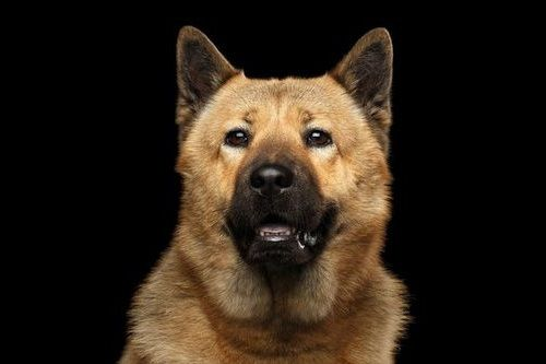 Anjing Akita Chow