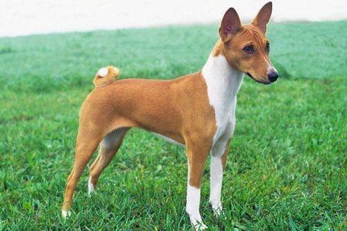 Anjing Basenji