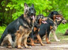 Anjing Buas