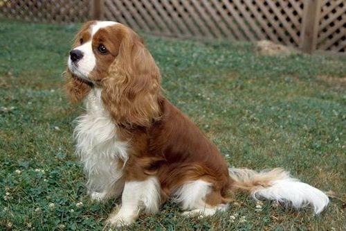 Anjing Cavalier King Charles Spaniel