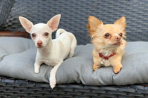 Anjing Chihuahua