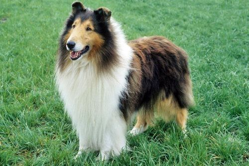 Anjing Collie