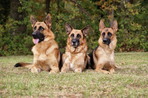 Seperti Apa Karakter Dan Sifat Anjing German Shepherd Gerava Ikan Hias Burung Kicau Kucing Anjing